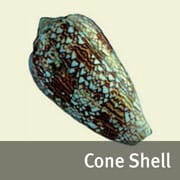 Cone shell image