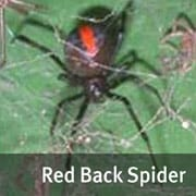 Red back spider image
